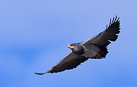 The Black-chested buzzard-eagle is one of Patagonia's larger birds of prey.