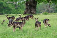 Sika deer in parkland, Northamptonshire.
