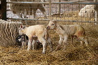 2-3-2021 New born lambs<br />  ©Tim Scrivener Photographer 07850 303986<br />      ....Covering Agriculture In The UK....