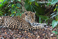 0615-1109  Jaguar, Belize, Panthera onca  © David Kuhn/Dwight Kuhn Photography
