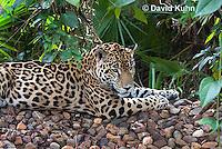 0615-1109  Jaguar, Belize, Panthera onca  © David Kuhn/Dwight Kuhn Photography