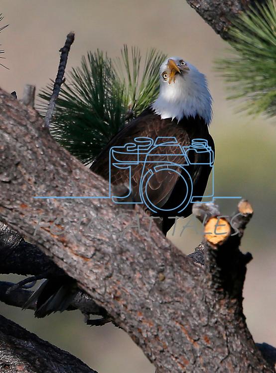 Bald eagle nest near Markleeville, Calif., on Friday, June 5, 2020. <br /> Photo by Cathleen Allison
