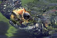 loggerhead turtle, Caretta caretta, captive, San Diego, California, USA, Pacific Ocean