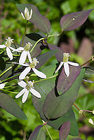 Clematis recta 'Purpurea' climbing vine in white flowers in June, additional 241