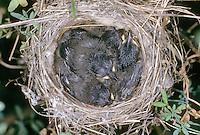 Samtkopf-Grasmücke, Samtkopfgrasmücke, Küken im Nest, Grasmücke, Sylvia melanocephala, Sardinian Warbler