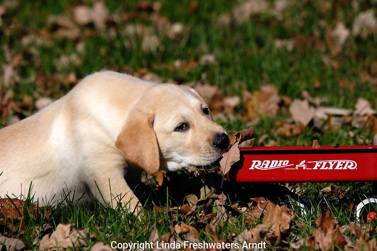 Yellow Labrador retriever(AKC) biting a leaf.  The leaf is on a small radio flyer red wagon.  Fall.  Birchwood, WI.