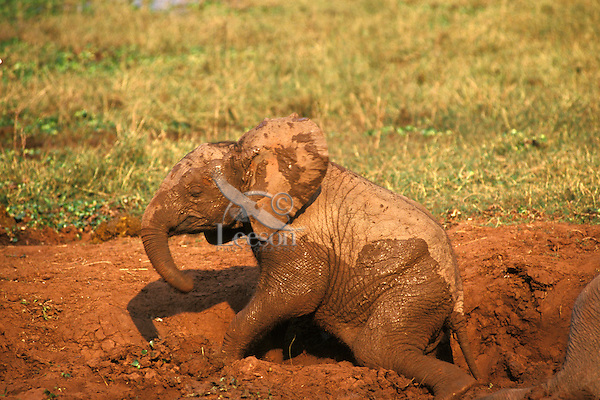 Young African elephant calf (Loxodonta africana) mud bathing. Matusadona National Park, Zimbabwe.