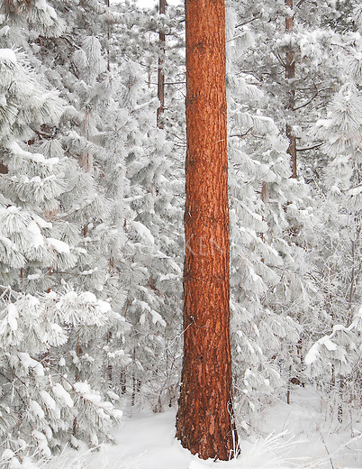 Red orange color of ponderosa pine tree bark stands out among the white snow covered pine needles and branches.