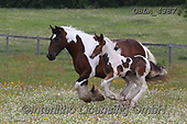 Bob, ANIMALS, REALISTISCHE TIERE, ANIMALES REALISTICOS, horses, photos+++++,GBLA4387,#a#, EVERYDAY