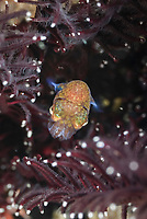 Berry's Bobtail squid, Euprymna berryi, Lembeh Straight, Sulawesi, Indonesia, Pacific Ocean