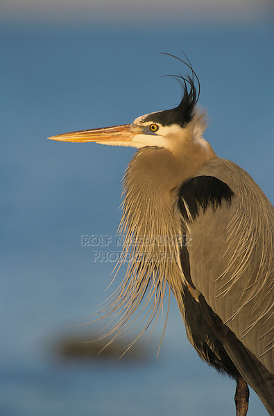 Great Blue Heron, Ardea herodias, adult, Rockport, Texas, USA, March 2001