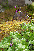 Alpenheilglöckchen, Alpen-Heilglöckchen, Heilglöckel, Heilglöcklein, Alpenglöckel, Cortusa matthioli, Primula matthioli, Alpine bells, Alpine bell