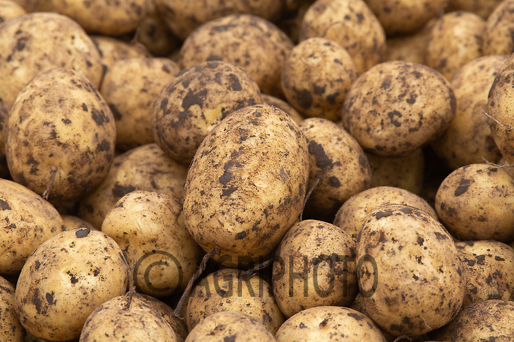 7.9.2020 Starting to lift main crop potatoes in the Lincolnshire fens<br /> ©Tim Scrivener Photographer 07850 303986<br />      ....Covering Agriculture In The UK.