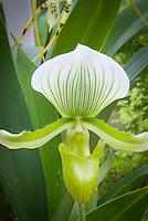Paphiopedium Maudiae (album form) Orchid