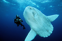 Ocean sunfish, Mola mola, are found in the open ocean, California, Eastern Pacific Ocean