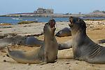 FB 381 Northern Elephant Seals. Juveniles Play. 5x7 Postcard.