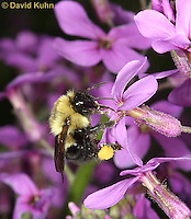 "0108-0905  Bumble Bee Pollinating Dames Rocket, Bombus spp. ""Virginia"" © David Kuhn/Dwight Kuhn Photography"