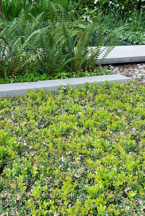Vaccinium angustifolium Lowbush blueberries in bloom as ground cover
