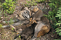 Gray wolf or timber wolf mother and pups.