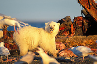 polar bear, Ursus maritimus, cub scavenging a bowhead whale, Balaena mysticetus, carcass, 1002 coastal plain of the Arctic National Wildlife Refuge, Alaska, polar bear, Ursus maritimus