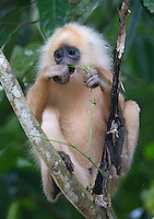 I saw several red leaf monkeys in Borneo, many of which had white fur.