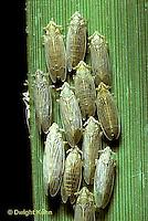 PH01-084a  Planthoppers on cord grass - salt marsh N.J. -  Prokelisia marginata