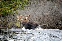 A large bull moose walking along the edge of a lake in Michigan's Upper Peninsula. Baraga County