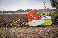 Harvesting winter beans with Claas Lexion 580TT - September, Lincolnshire