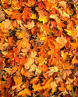 Colorful maple leaves on the forest floor. Sharon, Connecticut, United States, New England.