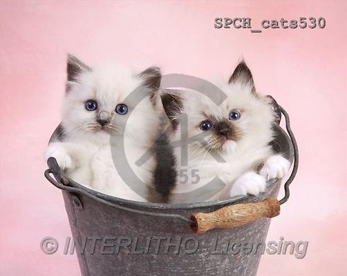 Xavier, ANIMALS, cats, photos(SPCHcats530,#A#) Katzen, gatos