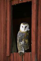 Barn Owl looking back from an old barn window