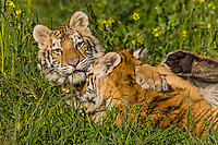 Siberian Tiger cubs (Panthera tigris) at about 4 1/2 months playing.
