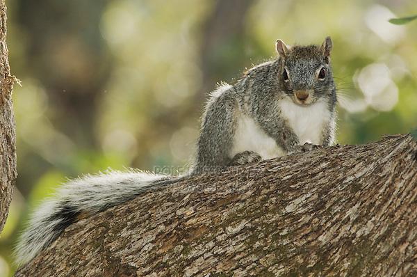 Arizona Gray Squirrel, Sciurus arizonensis, adult, Madera Canyon, Arizona, USA, May 2005