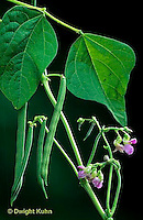 HS30-036a  Bean - showing fruit and flower - Provider variety