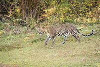 Sri Lankan leopard (Panthera pardus kotiya) walking. Yala National Park, Southern Province, Sri Lanka.