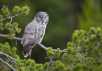 2016 was a good year for Great gray owls, with multiple sightings in the spring and fall.