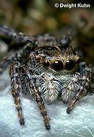 SI10-001z  Jumping Spider - Sitticus palustris