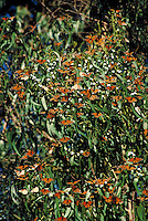 Clusters of orange and black monarch butterflies during migration on greenery in outside setting, Pismo Beach, CA. Pismo Beach California.