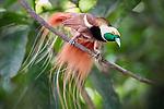 Male Raggiana Bird of Paradise (Paradisaea raggiana) in forest canopy. Varirata National Park, Papua New Guinea. June