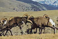 Two bighorn sheep rams butt heads, Northern Rockies.  Fall.