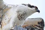 Osprey sitting on a post, Upper Newport Bay, CA.