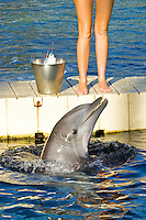 A dolphin works with a trainer for morning warm-up.
