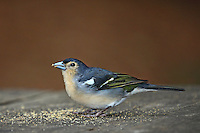 Kanaren-Buchfink, Kanarenbuchfink, Männchen, Fringilla coelebs tintillon, Fringilla coelebs canariensis, Central Canary Islands Chaffinch. La Gomera