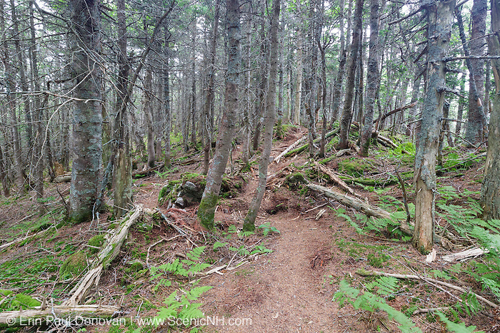 A herd path that leads to a viewpoint of the ski area on the summit of Mt Tecumseh in Waterville Valley, New Hampshire. This path was illegally cut between 2011-2013, and this photo shows how the herd path looked in July 2016. The impact to the environment is evident in the photo.