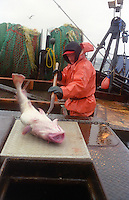 Deckhand Brett Davis onboard the F/V Windjammer, a dragger, also known as a trawler, fishes for gray cod in the Bering Sea.