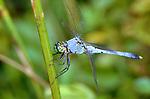 Pondhawk dragonfly-Erythemis simplcicollis