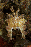 cuttlefish, Sepia sp. , Lembeh Strait, North Sulawesi, Indonesia, Pacific Ocean