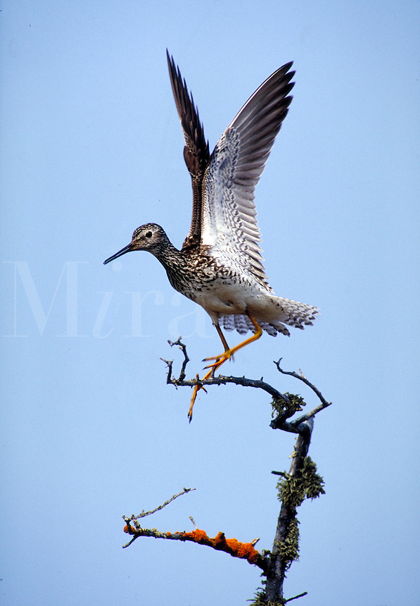 Lesser Yellowlegs spreading wings. Shorebirds. Churchill, Canada Manitoba.