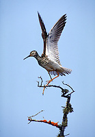 Lesser Yellowlegs spreading wings. Shorebirds. Churchill, Canada Manitoba.