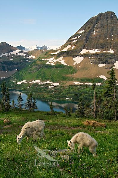 Mountain Goat (Oreamnos americanus)nanny with kid.  Glacier National Park, Montana.  Summer.